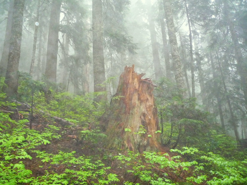 pacific northwest forest - photo #14